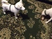 Watch free video Cute Dog Playing