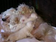 Watch free video Cute Maltese Puppies - 2 Weeks Old