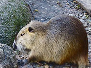 Nutria | Canon EOS 60D with EF 70-300mm