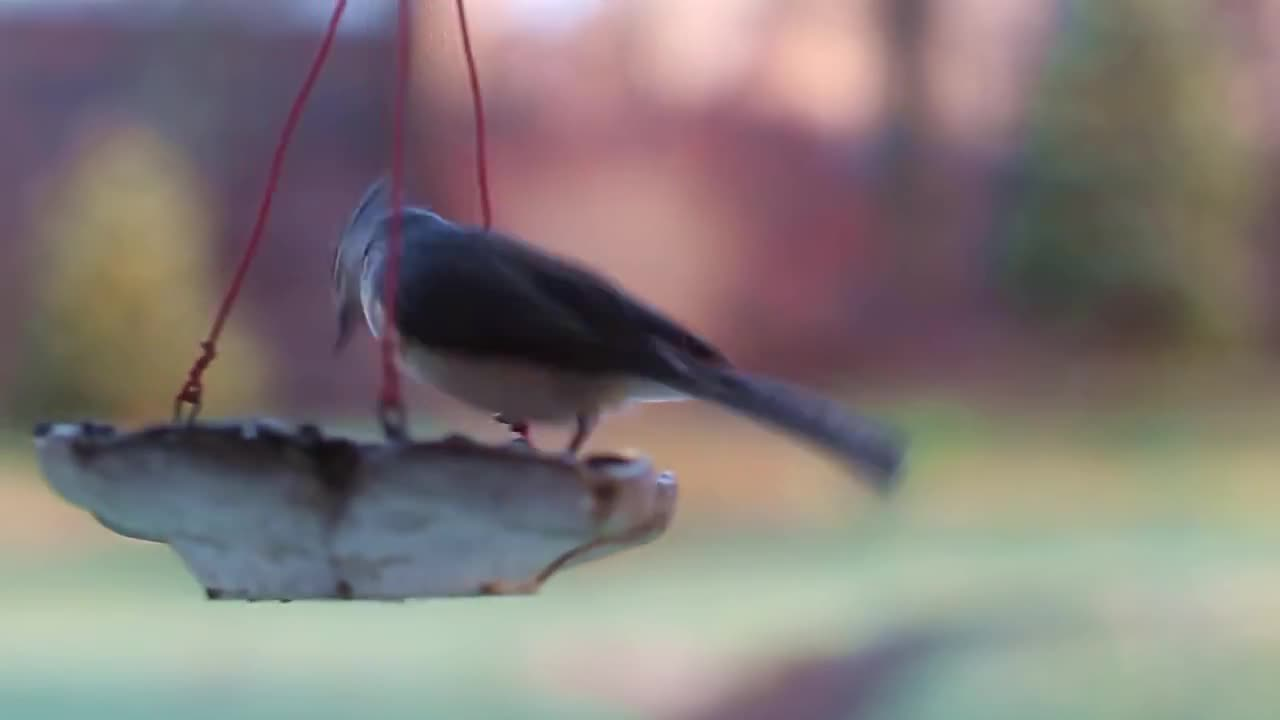 Watch free video Birds and Feeder in Macro View
