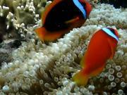 Mira dibujos animados gratis fish baronjan