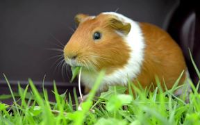 Guinea Pig Mocha's Diary