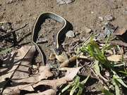 Watch free video Diablo Range Garter Snake
