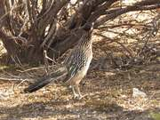Watch free video Greater Roadrunner