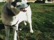 White Dog , Black Ear