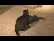 Watch free video CAT VS KITTEN