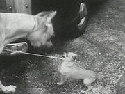 Dog Show 1955