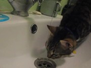 Watch free video Сat Drinks Water From a Faucet