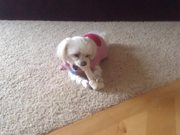 Watch free video Maltese. Small Dog Big Bone, and Funny Reaction