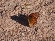 Watch free video Variegated Butterfly