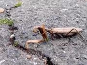 Watch free video Mantis Religiosa