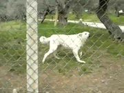 Watch free video Barking White Dog