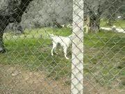 Watch free video Barking White Dog