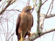Watch free video Roadside Hawk