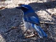 Watch free video Variegated Birdie