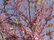Watch free video Redbud Blossoms in the Early Spring