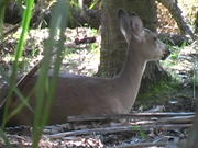 Watch free video Cute Deer