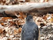 Watch free video Falcon on the Log
