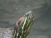 Watch free video Turtle - Extreme Close Up
