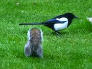 Watch free video Grey Squirrel and Magpie