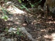 Watch free video Varahicacos - Iguana