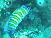 Mira el vídeo gratis de Royal Angelfish