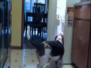 Watch free video Fridge Raiding Basset Hound