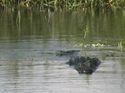 Watch free video Myakka Park - Full Grown Alligator