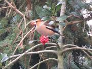 Watch free video Coccothraustes Coccothraustes