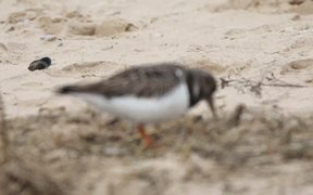 Watch free video Ruddy Turnstone Arenaria