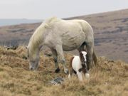 Watch free video Moorland Ponies, Dartmoor