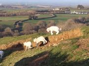 Watch free video Lambs Enjoying the Evening Air