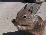 Watch free video Tortilla Squirrel
