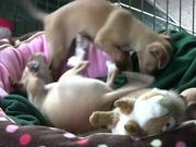 """Watch free video Chihuahua Puppies - """"Let Me Sleep"""" in HD"""