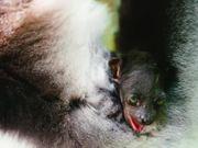 Watch free video Island of Lemurs: Madagascar - Official Trailer