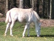 Watch free video White Pony Munching Buttercups