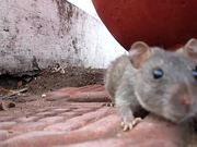Watch free video A hungry mouse at Hussain Sagar