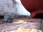A hungry mouse at Hussain Sagar