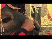 Watch free video Buffalo Races in Bali
