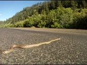 Watch free video Bull Snake