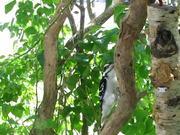 Watch free video Hairy Woodpecker