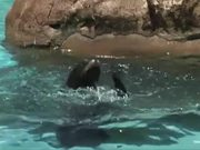 Watch free video Sea Lions at the Zoo