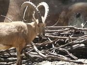 Watch free video Bighorn On a Mountain