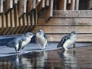 Watch free video Little Penguins