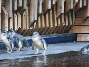 Watch free video Little Penguins