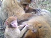 Watch free video Barbary Macaque