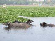 Indian Buffaloes bathing and swimming in a lake