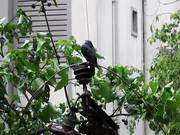 Watch free video Pigeon on an electric pole during the rain