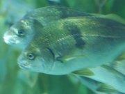 Mira el vídeo gratis de Three Fishes Swimming