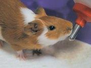 Watch free video Guinea Pig Mocha's Diary 05/12/11